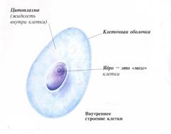 Строение клетки человека, деление клетки и внешний вид ...: http://www.vseznayem.ru/pochemuchki-o-cheloveke/275-stroyeniye-kletki-cheloveka