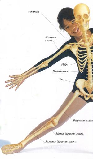 Скелет человека с названием всех костей картинки