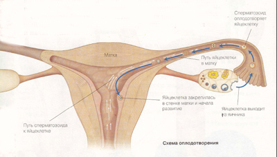 dvizhenie-spermotozoidov-vo-vlagalishe