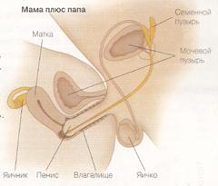 skolko-vremeni-zhivut-spermatozoidi-v-prezervative